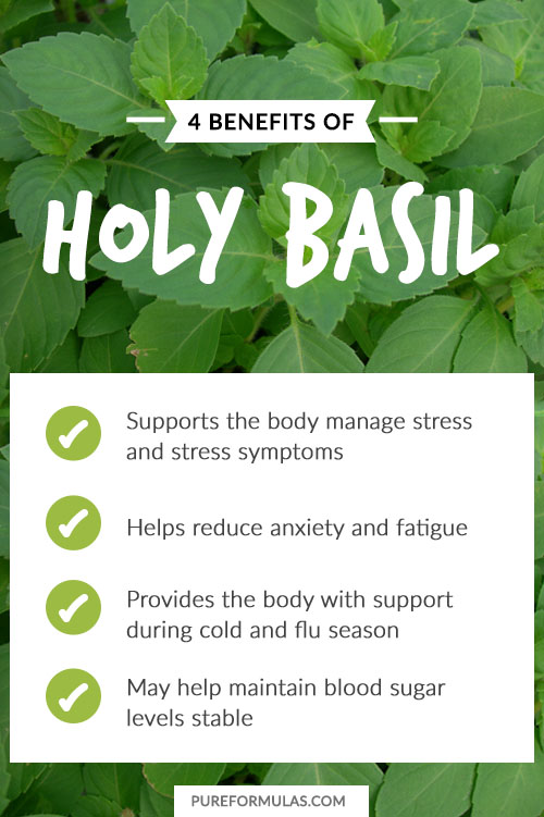 healing properties of tulsi or holy 11 miraculous health benefits of tulsi (holy  for tulsi's microbe-fighting properties as a result, tulsi has the ability to combat  healing herbs: the.