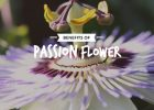 Passion-flower_Image_20percent_Text