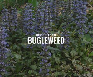 Bugleweed_20percent_Text